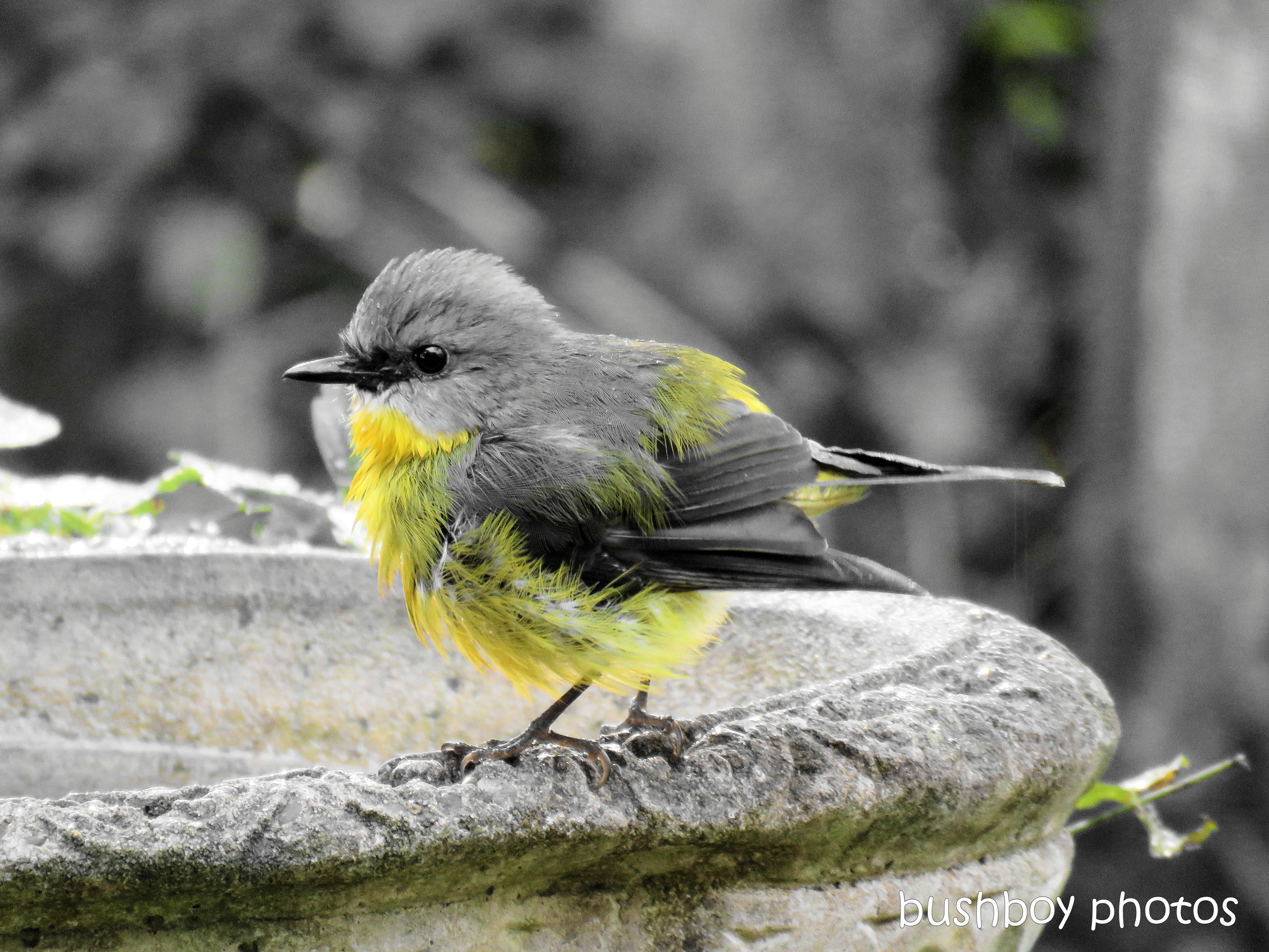 190412_blog_challenge_blackandwhite_water_birdbath_eastern_yellow_robin7