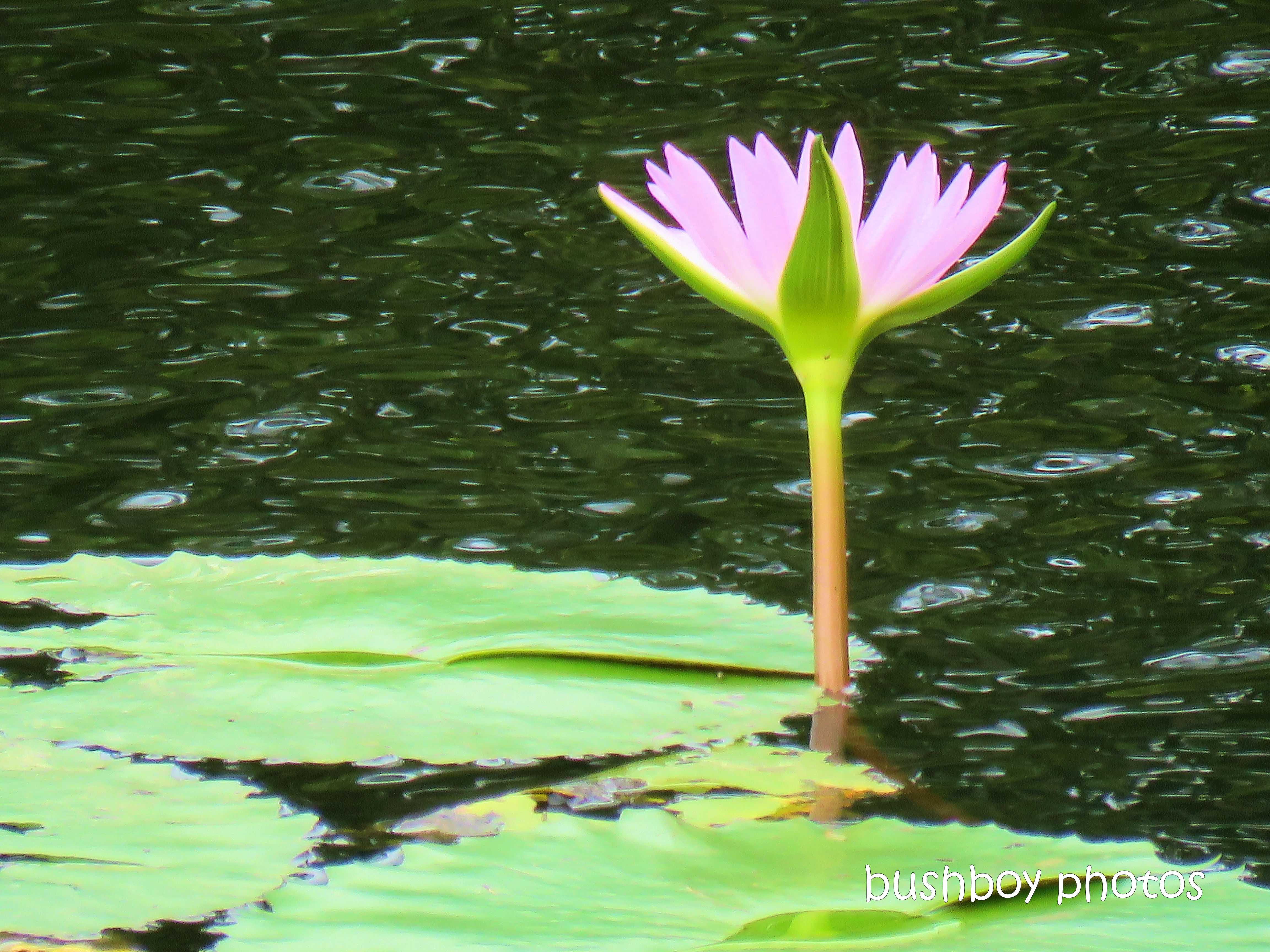 190421_blog_challenge_silent_sunday_water_lily_flower_pink