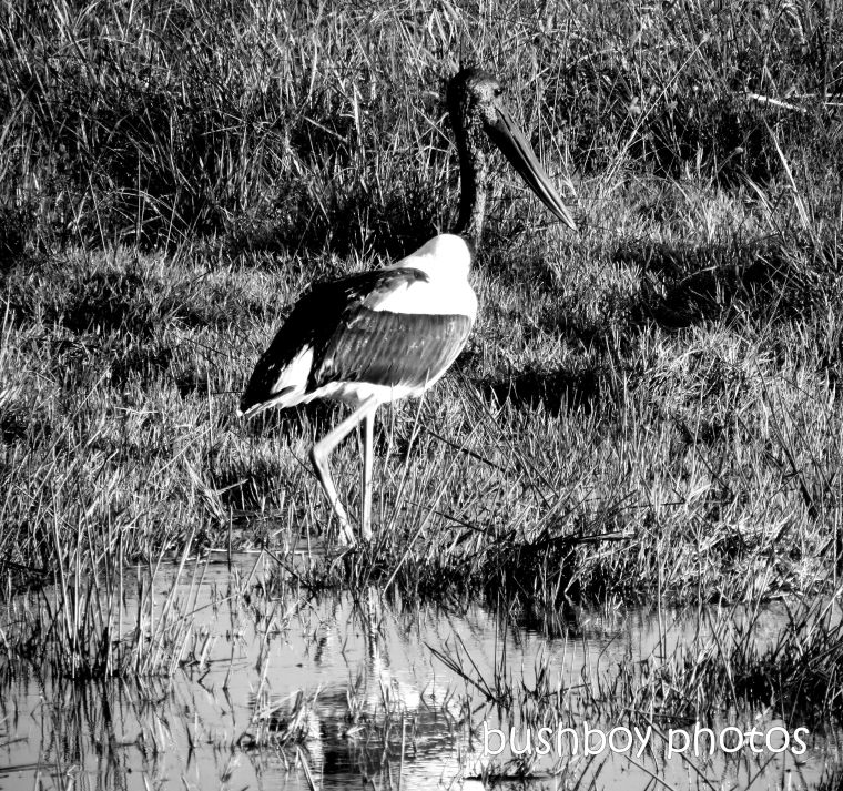 190425_blog_challenge_blackandwhite_from_the_side_black_necked_stork1