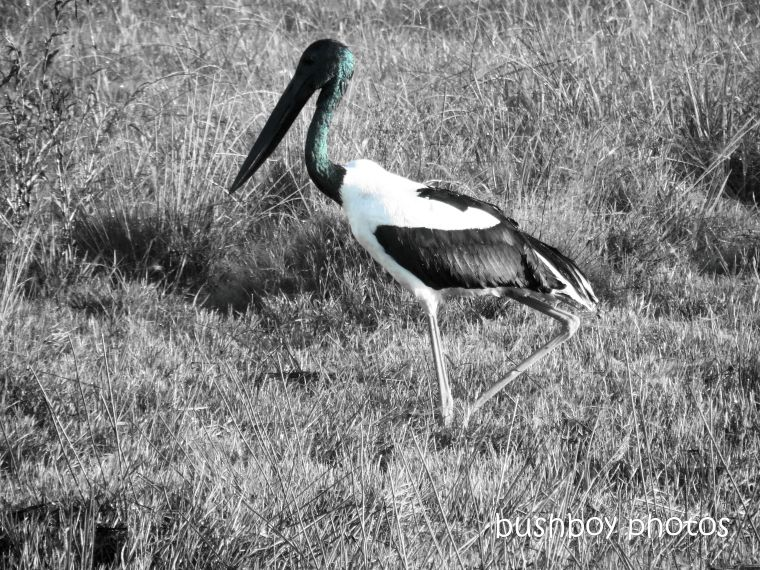190425_blog_challenge_blackandwhite_from_the_side_black_necked_stork4