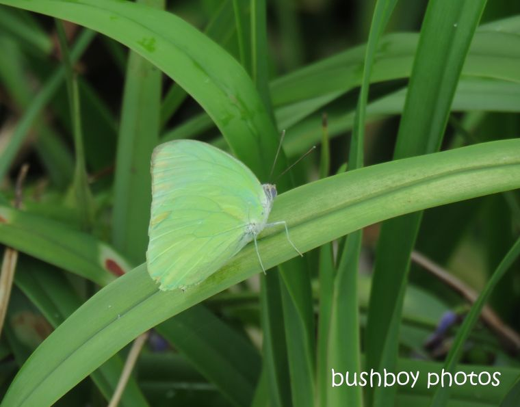 butterfly_small_grass_yellow_named_caniaba_march 2019
