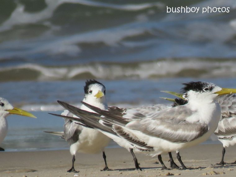 crested_terns_sitting_evans head_march 2019