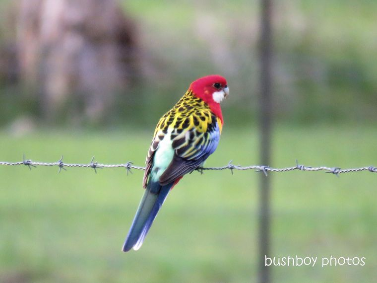 eastern_rosella_fence_named_gore rd_march 2019