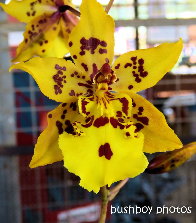 flowers_orchid_named_lismore_march 2019