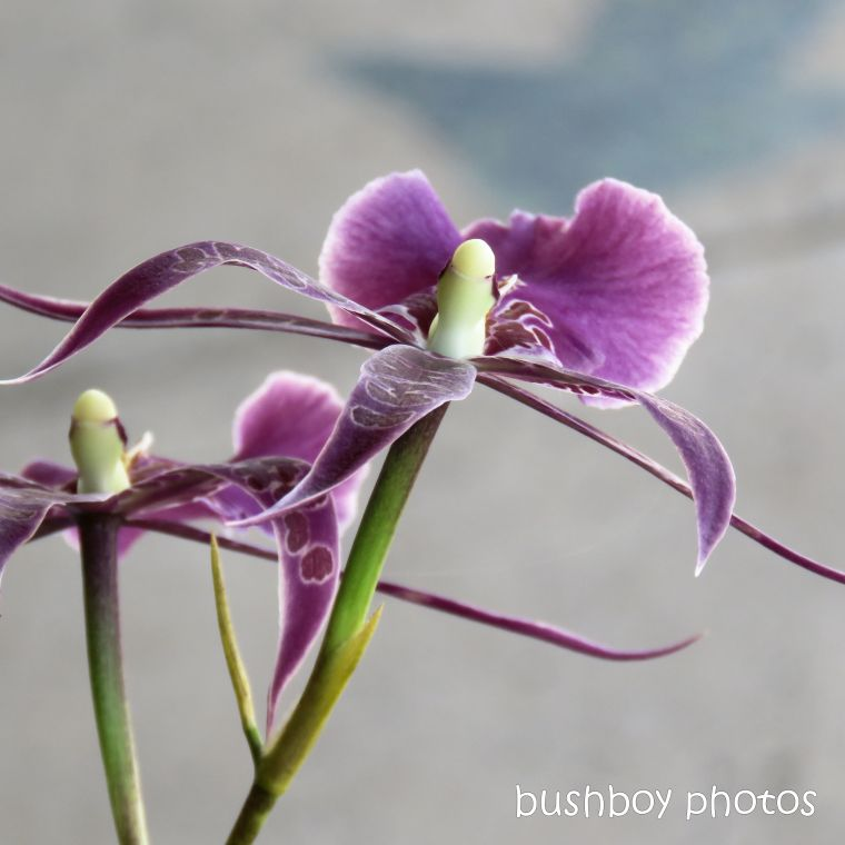 flowers_orchid_purple_named_lismore_march 2019
