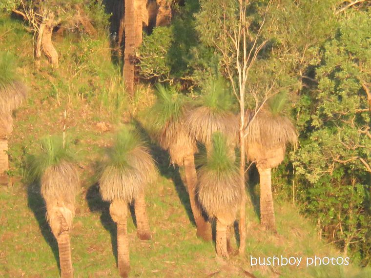 grass_trees_named_caniaba_march 2019
