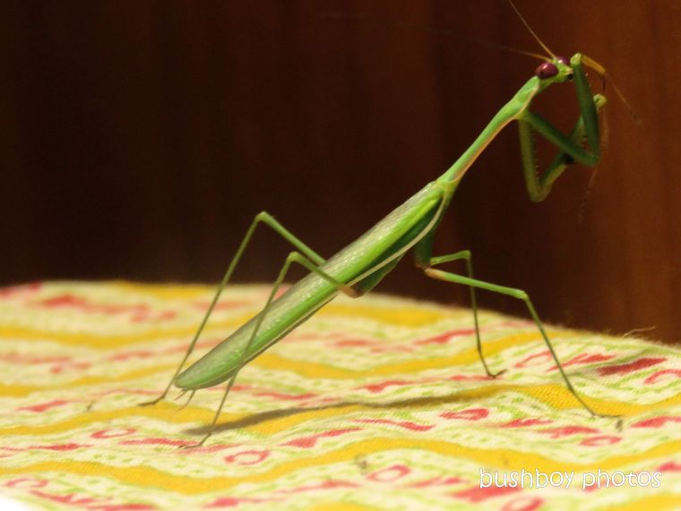 praying mantis_home_march 2019