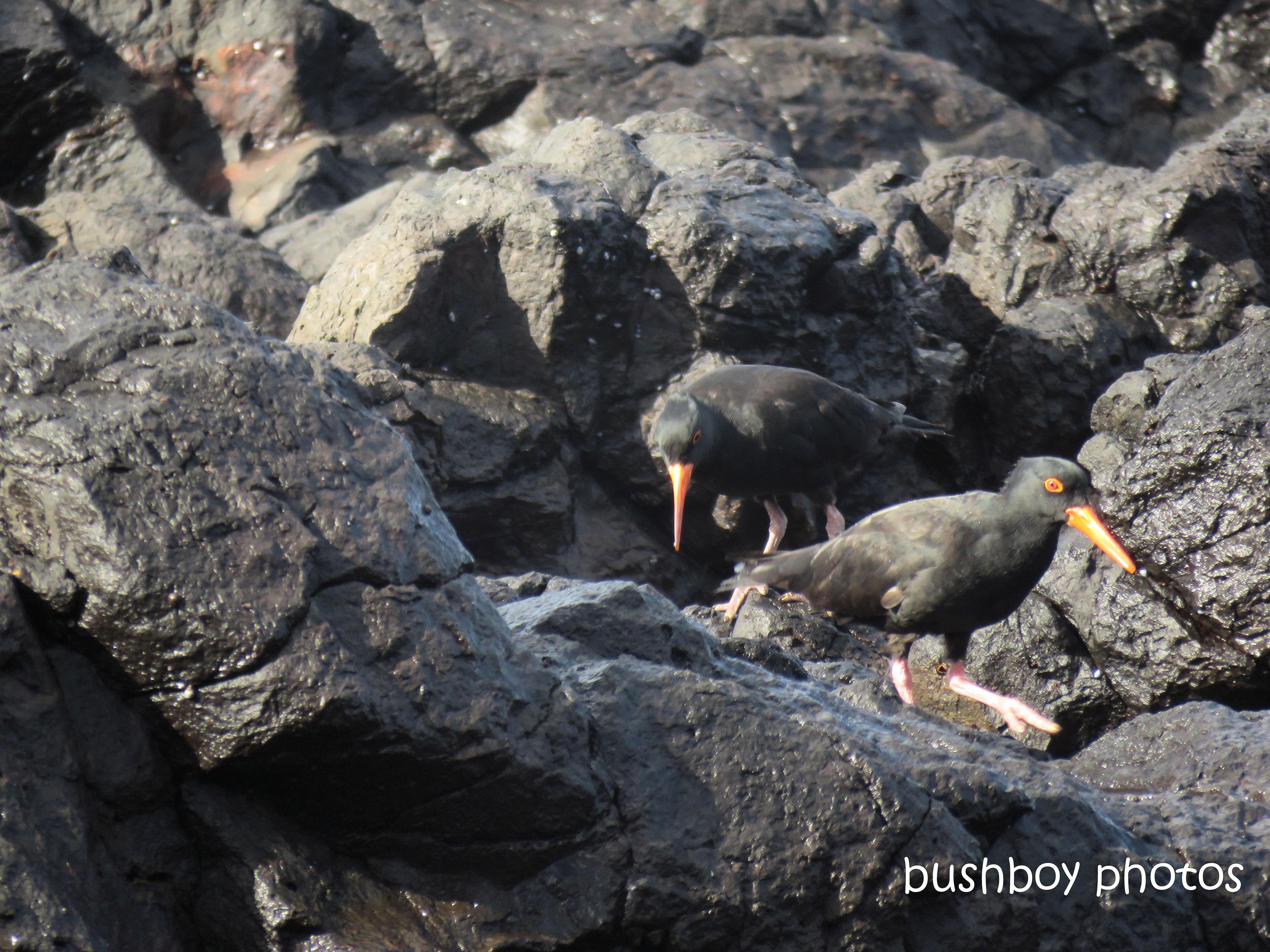 sooty_oystercatchers_named_boulder beach_blog1
