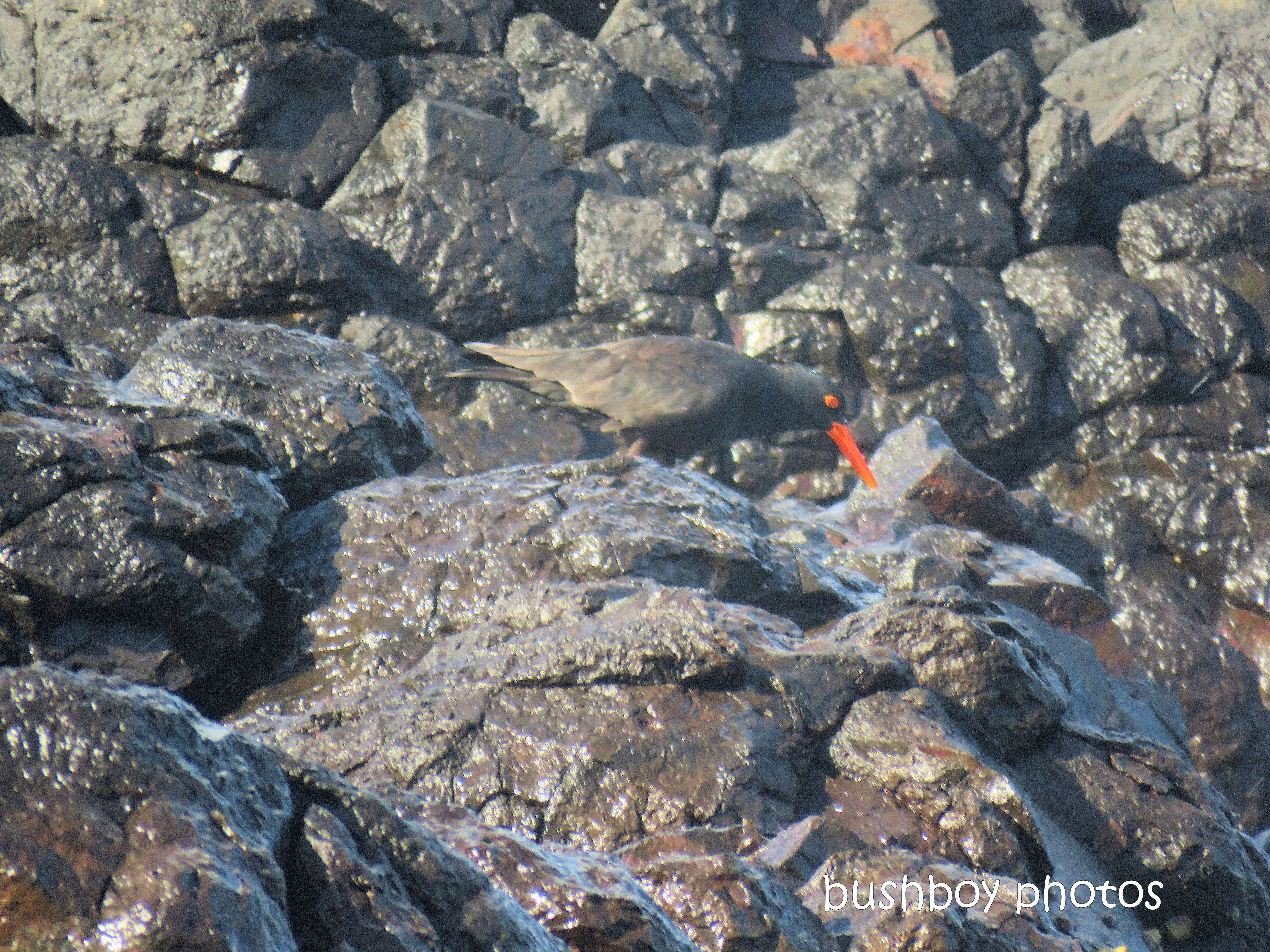 sooty_oystercatchers_named_boulder beach_blog2