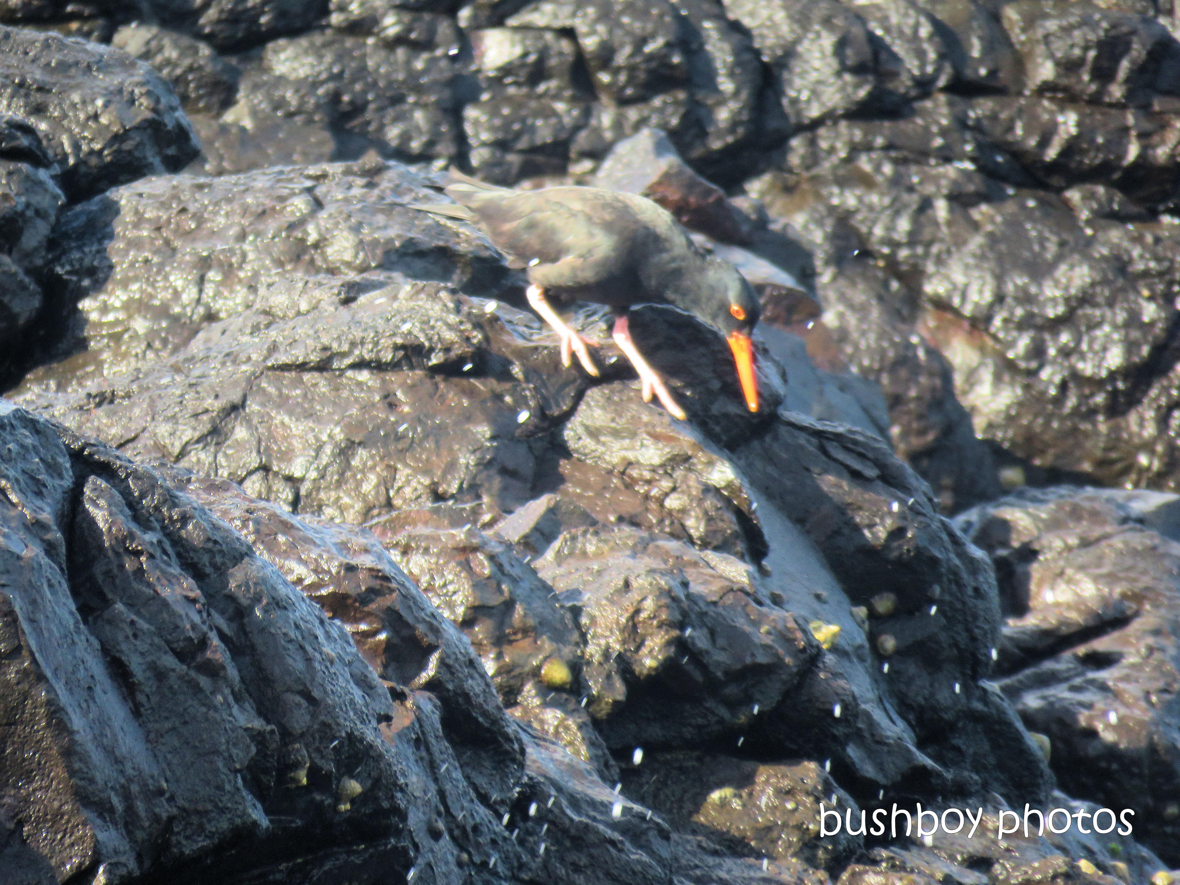 sooty_oystercatchers_named_boulder beach_blog3