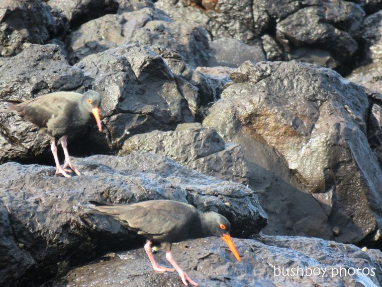 sooty_oystercatchers_named_boulder beach_blog4