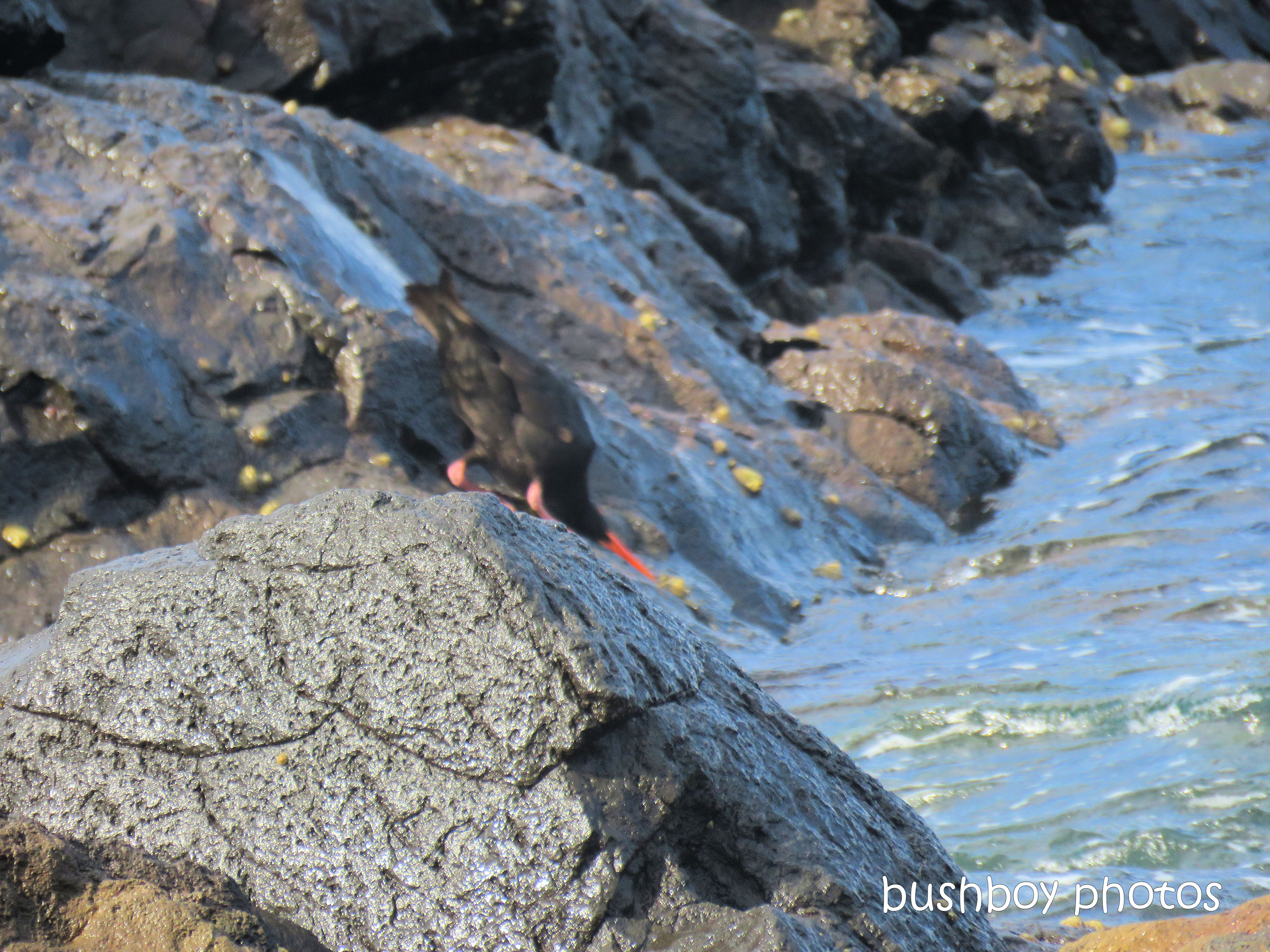 sooty_oystercatchers_named_boulder beach_blog5