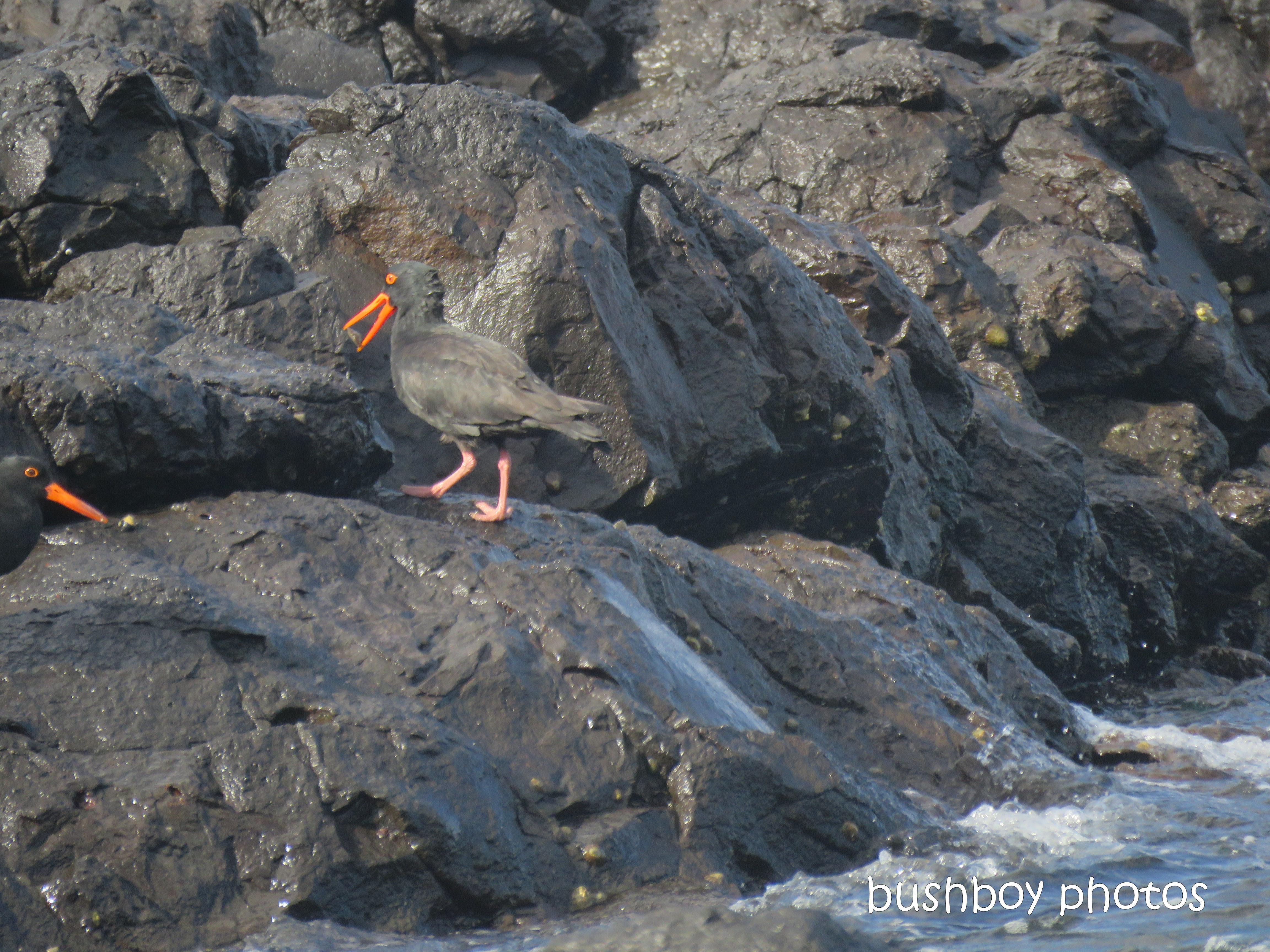sooty_oystercatchers_named_boulder beach_blog6