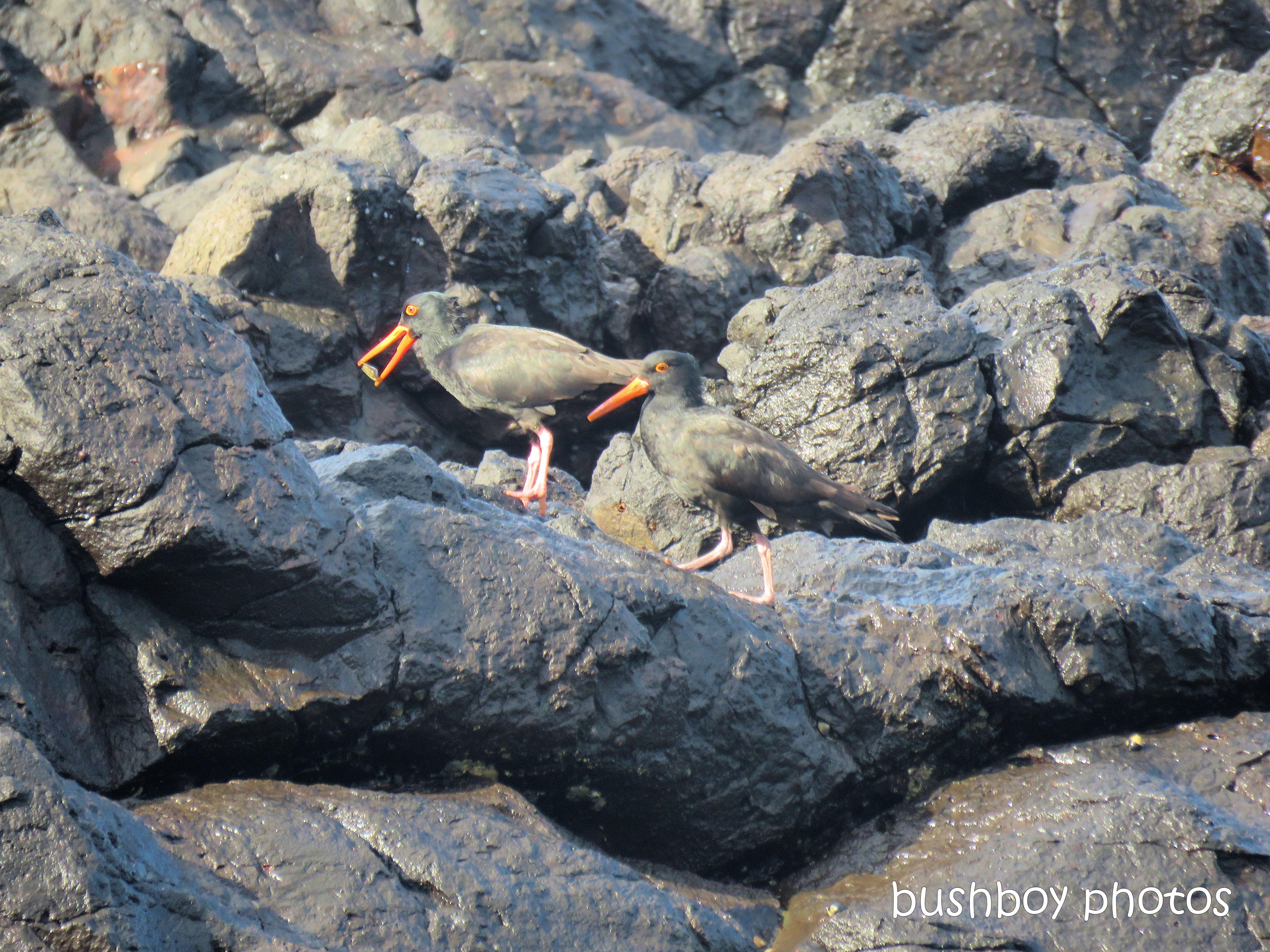 sooty_oystercatchers_named_boulder beach_blog7