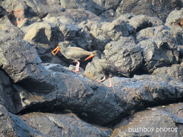 sooty_oystercatchers_named_boulder beach_blog7