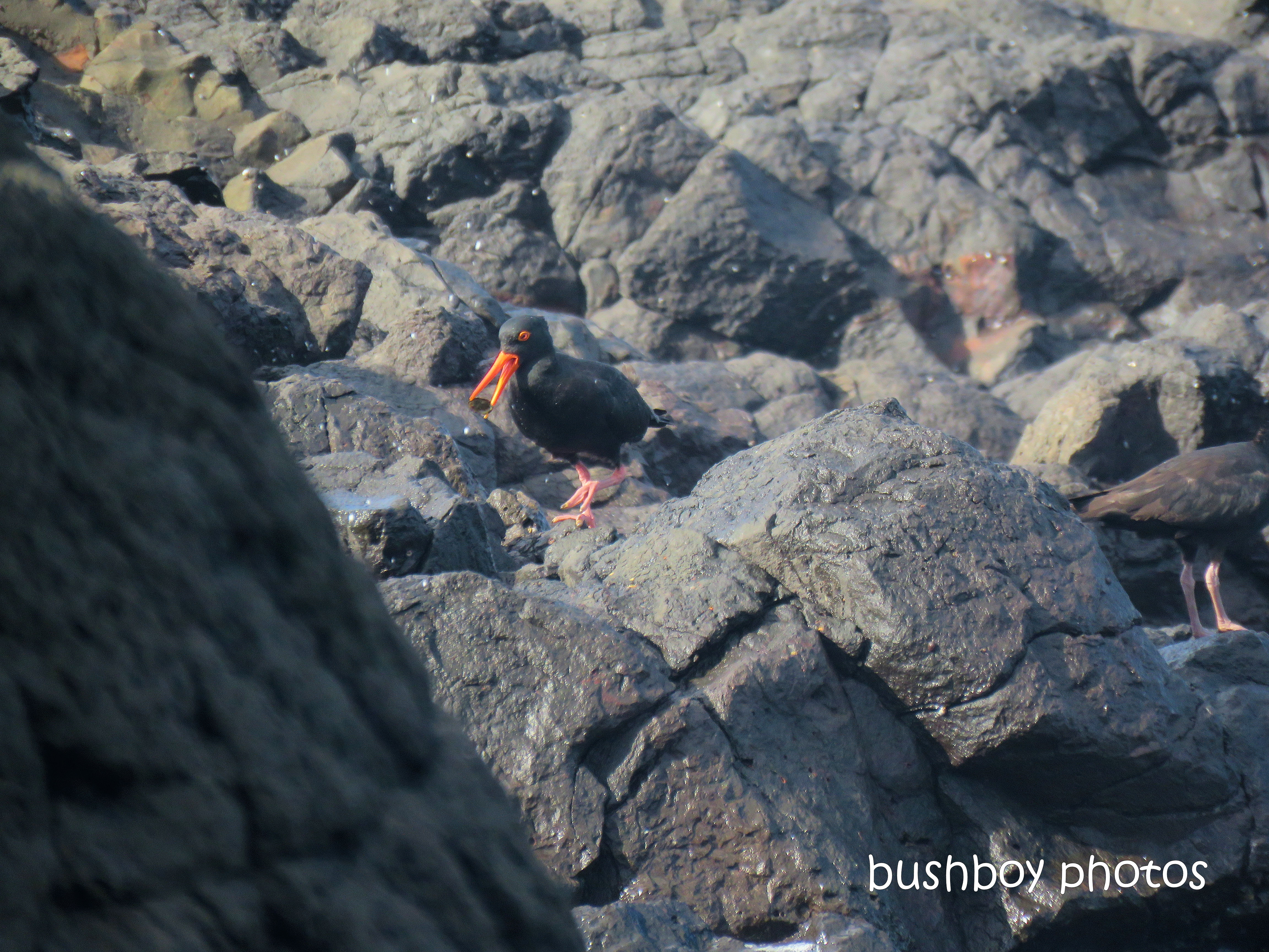 sooty_oystercatchers_named_boulder beach_blog8