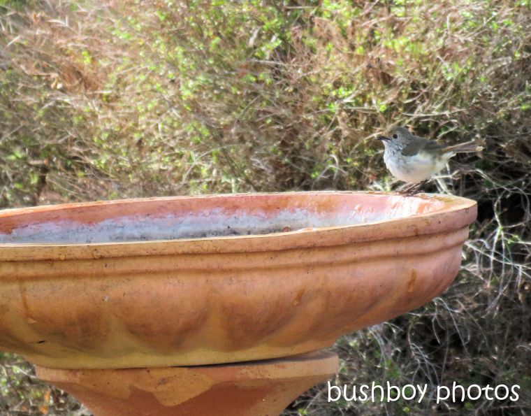thornbill_bird_bath_named_caniaba_march 2019