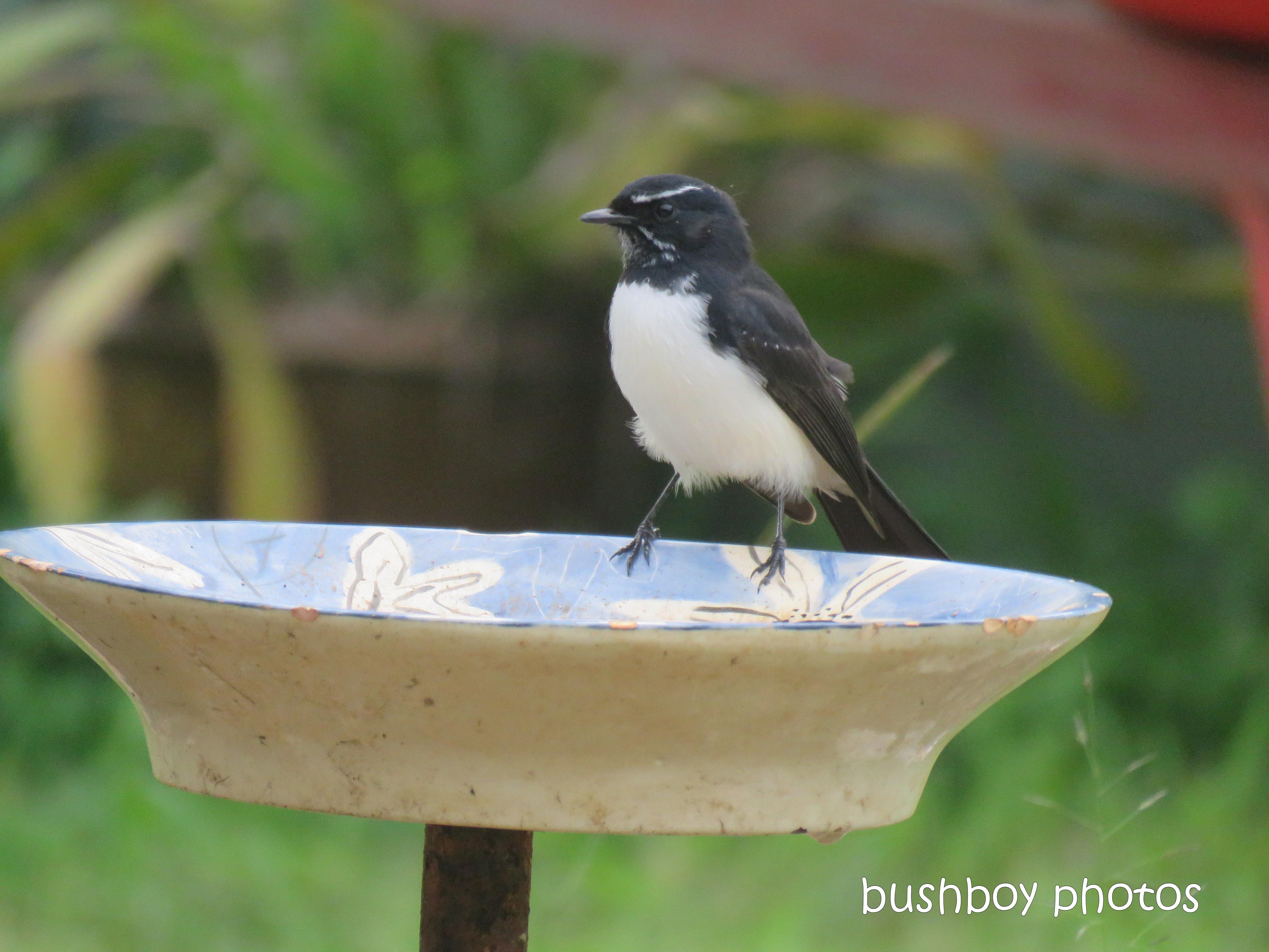 willie_wagtail_bird_bath_named_caniaba_blog1