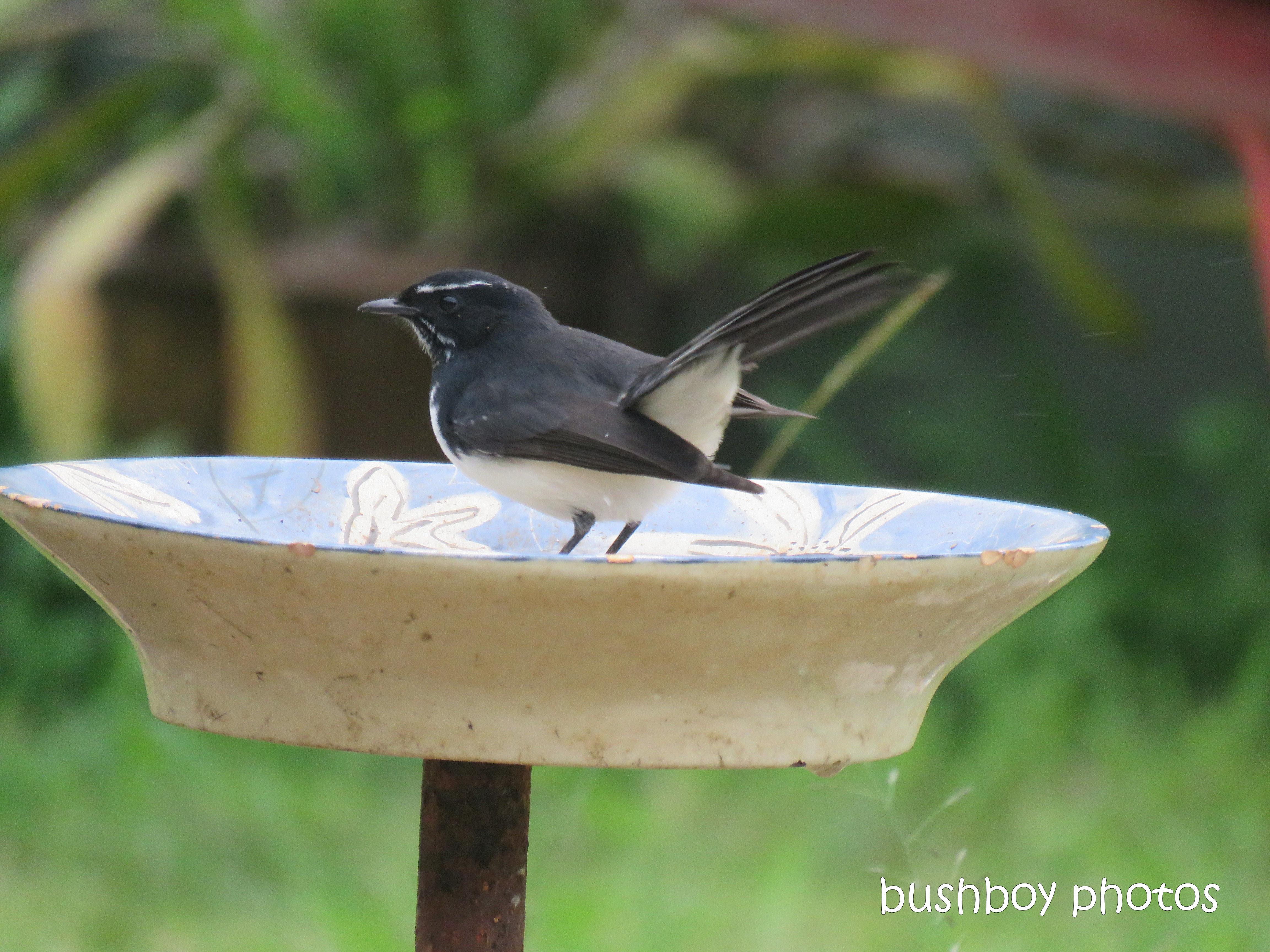 willie_wagtail_bird_bath_named_caniaba_blog2