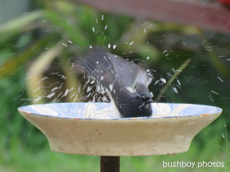 willie_wagtail_bird_bath_named_caniaba_blog3