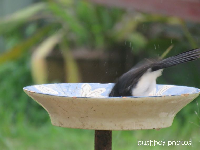 willie_wagtail_bird_bath_named_caniaba_blog4