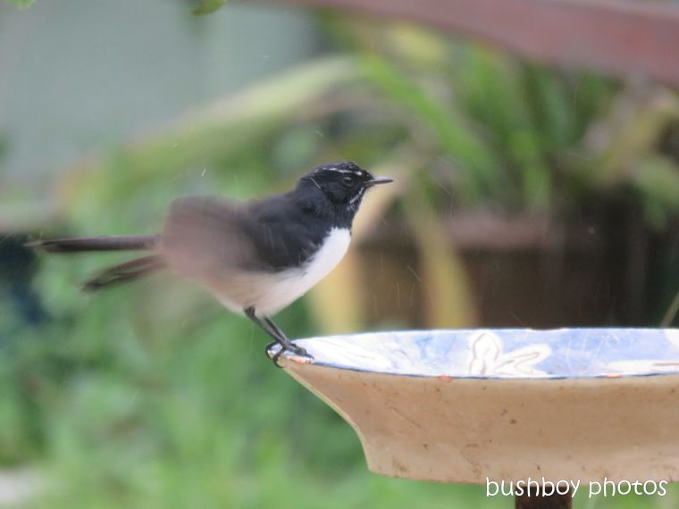 willie_wagtail_bird_bath_named_caniaba_blog6