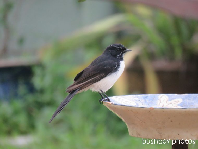 willie_wagtail_bird_bath_named_caniaba_blog7
