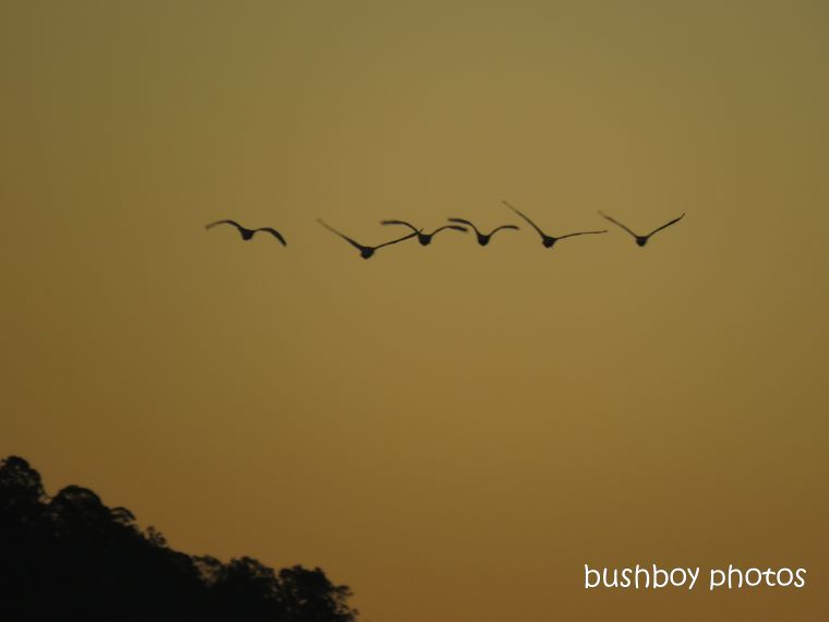 190508_wordless_wednesday_ibis_flying_sunset