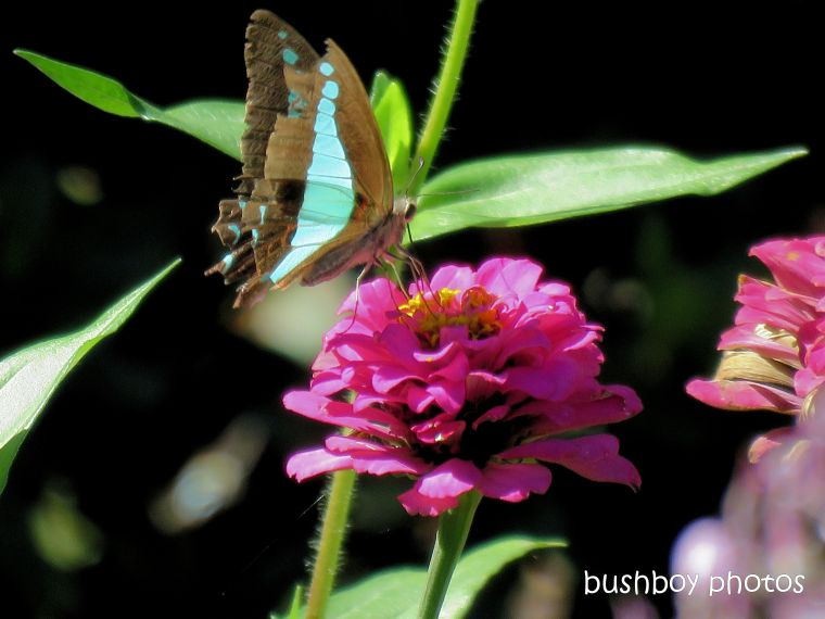 blue_triangle_butterfly_flower_named_springwood_april 2019