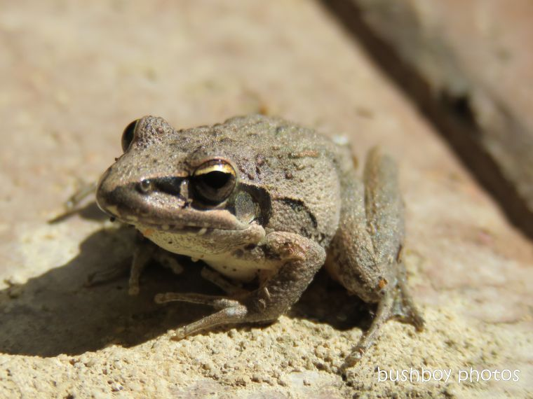 broad_palmed_rocket_frog_home_named_jackadgery_april 2019