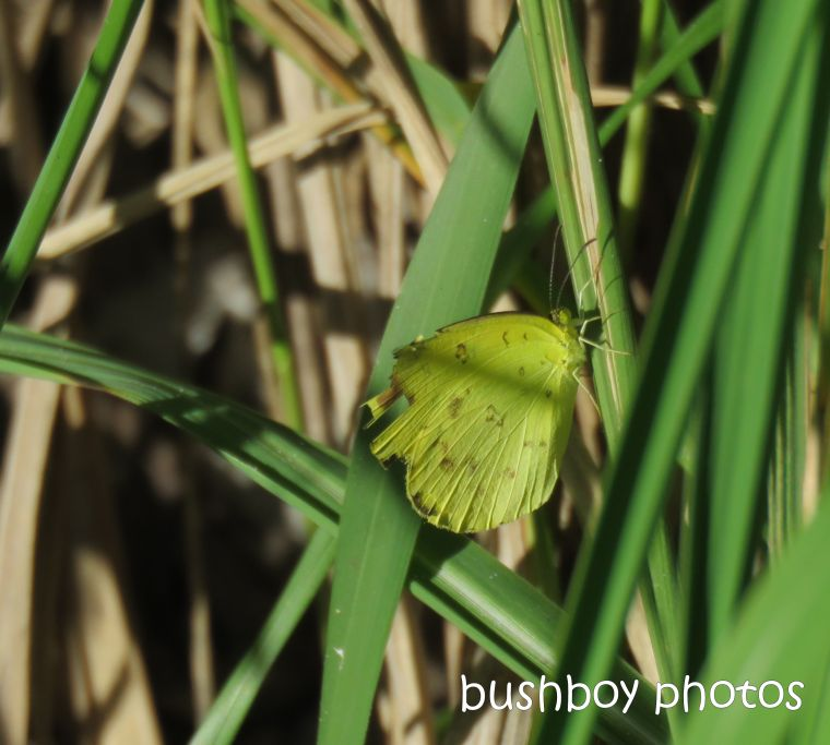 butterfly_small_grass_yellow_named_broadwater_beach_april 2019