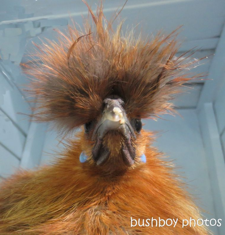chicken_bad_hair