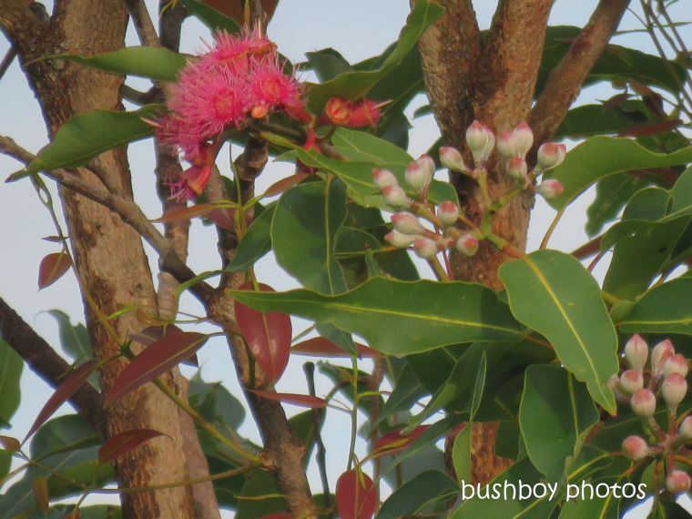 eucalypt_flower_buds_red_named_caniaba_april 2019