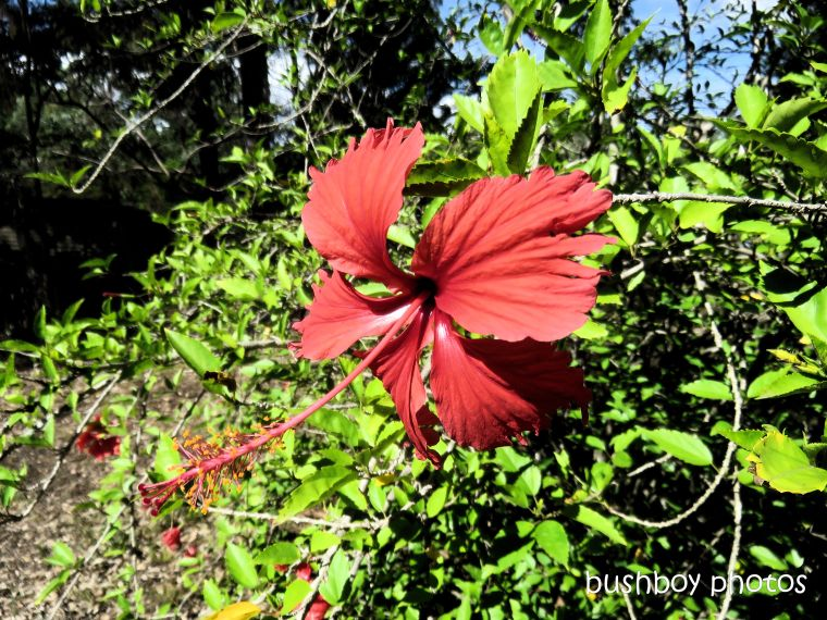 flower_hibiscus_named_home_jackadgery_april 2019