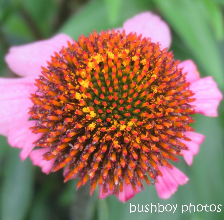 flowers_echinacea_pink_orange_centre_named_caniaba_april 2019