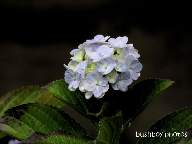 hydrangea_blue_lindsay_garden_named_springwood_april 2019