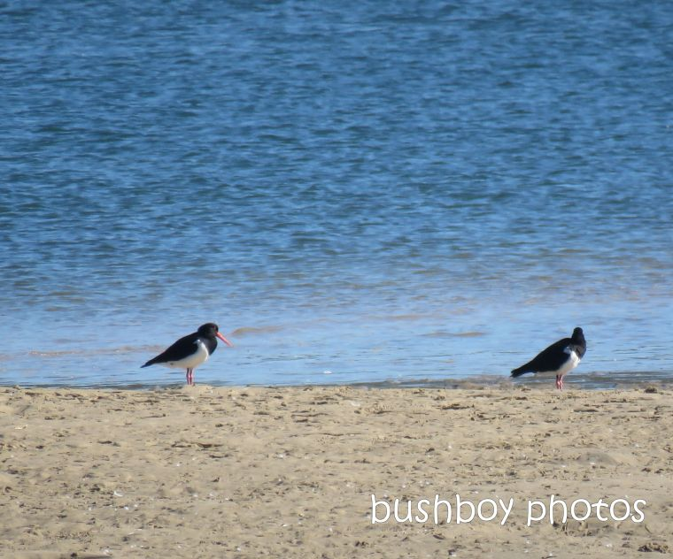 pied_oystercatchers_named_evans_head_april 2019