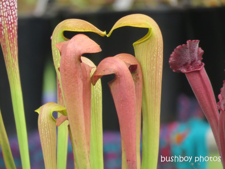 pitcher_plants_named_the channon_markets_april 2019