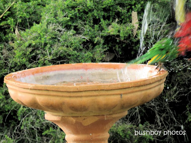 rainbow_lorikeet_bird bath_flying_named_caniaba_april 2019