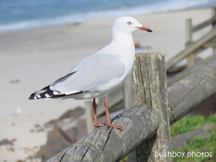 silver_gull_named_lennox_head_april 2019