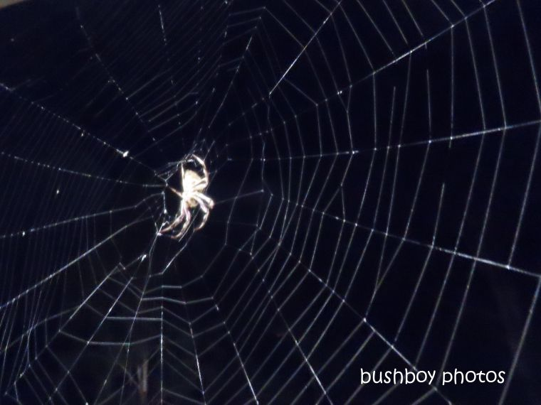 spider_night_web_named_caniaba_april 2019