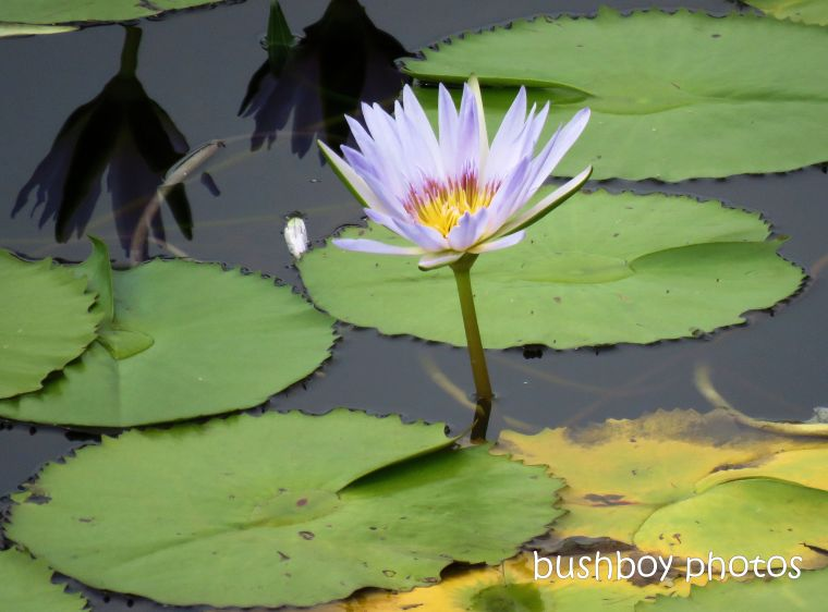 water_lily_flower_purple_named_rocky_creek_dam_april 2019