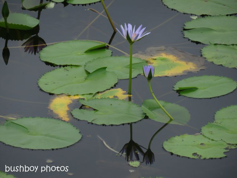water_lily_flower_purple_reflection_named_rocky_creek_dam_april 2019