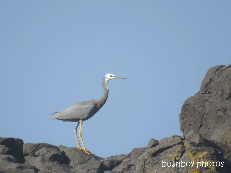 white_faced_heron_named_boulder_beach_april 2019