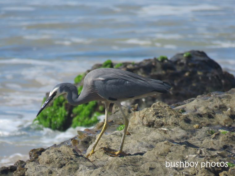 white_faced_heron_named_chinamans_beach_april 2019