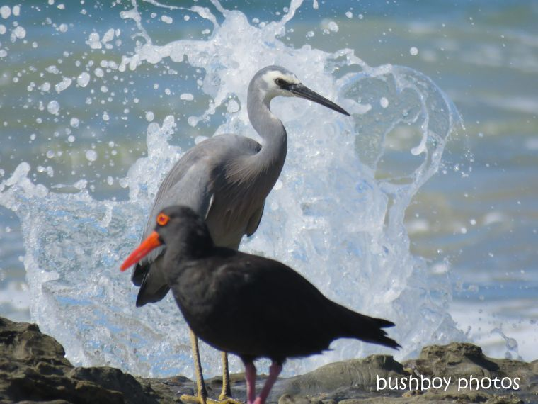 white_faced_heron_sooty_oystercatcher_named_chinamans_beach_april 2019