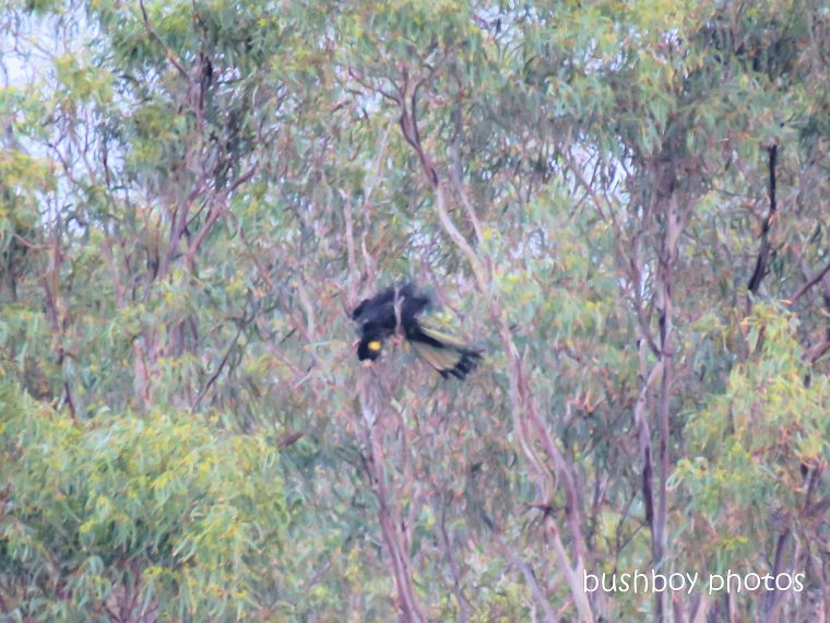 yellow_tailed_black_cockatoo_acrobat1_named_caniaba_april 2019