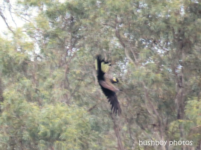 yellow_tailed_black_cockatoo_acrobat2_named_caniaba_april 2019
