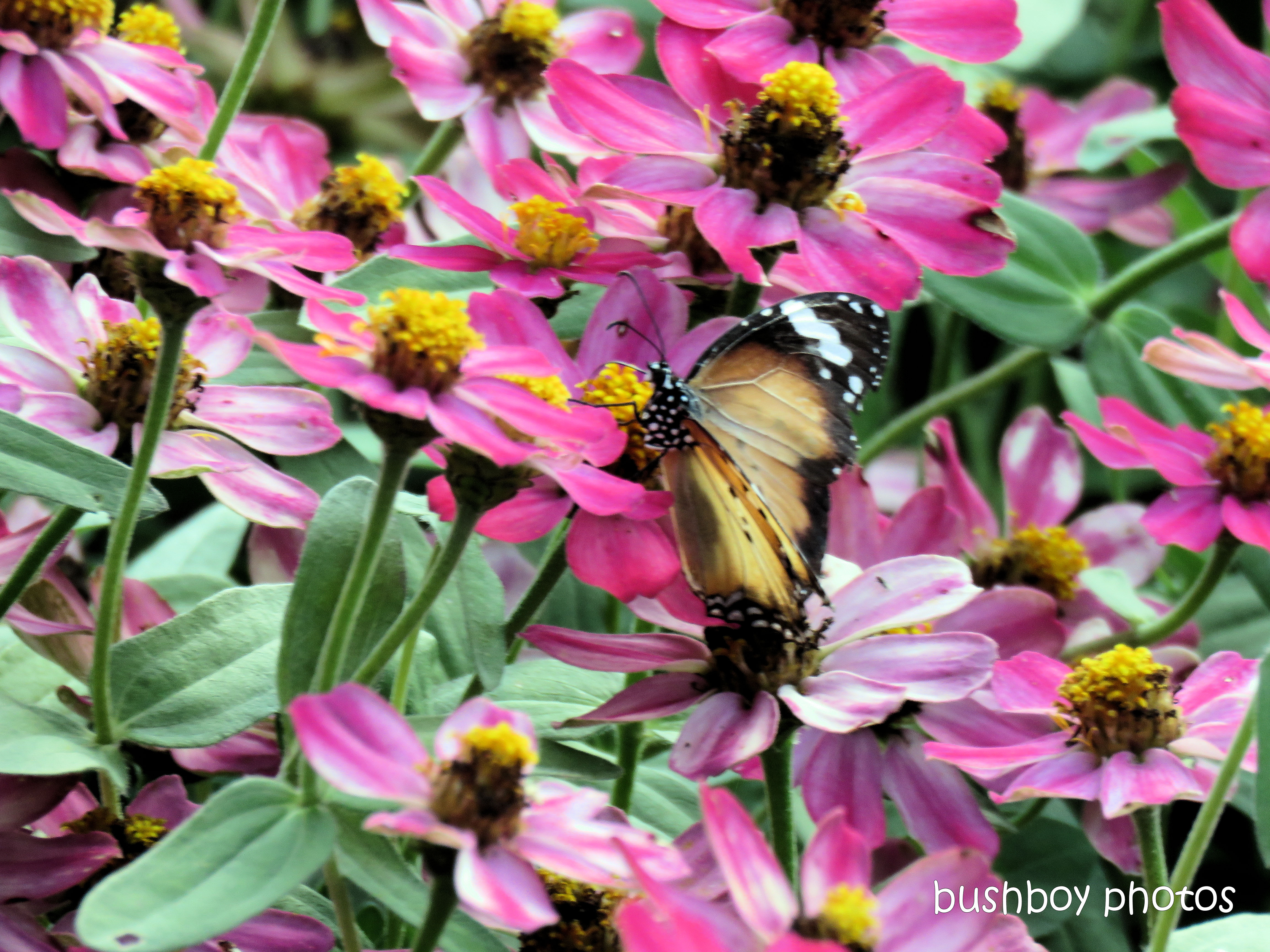 190607_blog_challenge_petals_zinnias_butterfly