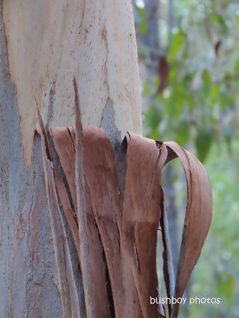 190612_wordless_wednesday_forest_red_gum_bark_peeling